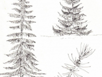 Conifers-in-Alberta-Canada