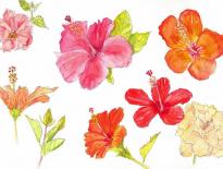 Hibiscus-Daku-Resort-Savusavu-Fiji