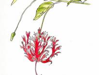 Hibiscus-from-Fiji