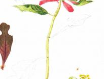 Poinsettia-dward