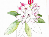 Rhodedendron-White-Pearl